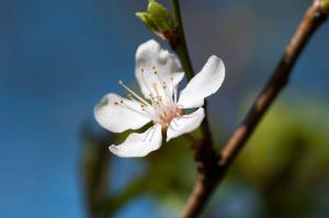 plommon blomma
